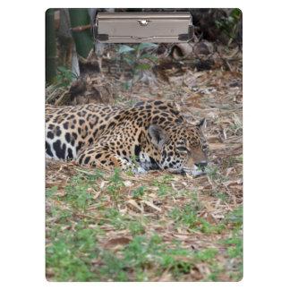 jaguar agujereado de la Florida que miente abajo g
