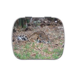 jaguar agujereado de la Florida que miente abajo g Latas De Dulces