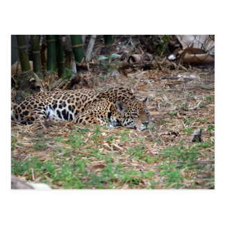 jaguar agujereado de la Florida que miente abajo g Tarjetas Postales