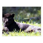Jaguar, black-phase (Panthera onca) Post Card