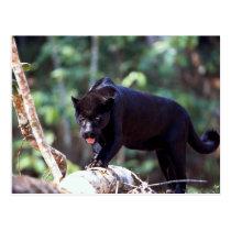 Jaguar, black-phase (Panthera onca) Postcard