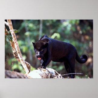 Jaguar, black-phase (Panthera onca) Poster