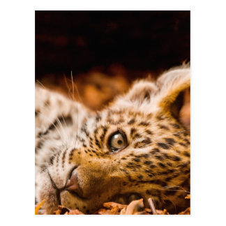 Jaguar Cub Lying in Foliage Postcard