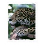Jaguar el dormir con el fondo frondoso postal