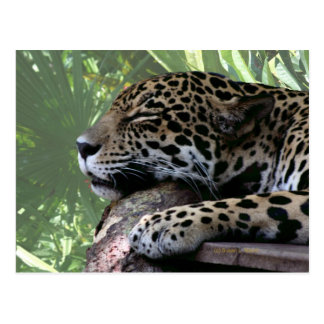 Jaguar el dormir la Florida, parte posterior verde Postal