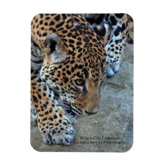Jaguar en el vagabundeo imán de vinilo