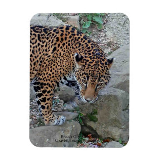 Jaguar en rocas imán