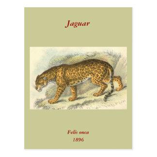 Jaguar, Felis onca Postcard