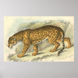 Jaguar, Felis onca Poster