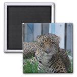Jaguar Imanes