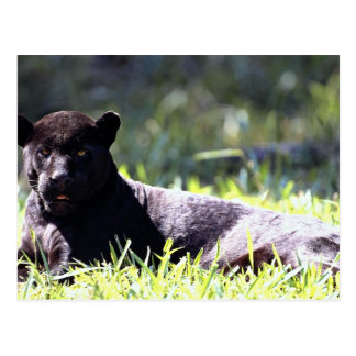 Jaguar, negro-fase (onca del Panthera) Postal