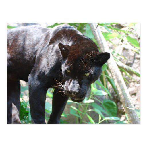 Jaguar negro postales