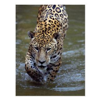 Jaguar (onca del Panthera) en el río fangoso Tarjeta Postal