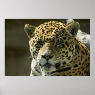 Jaguar Posters