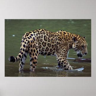 Jaguar (Panthera onca) in muddy river Poster