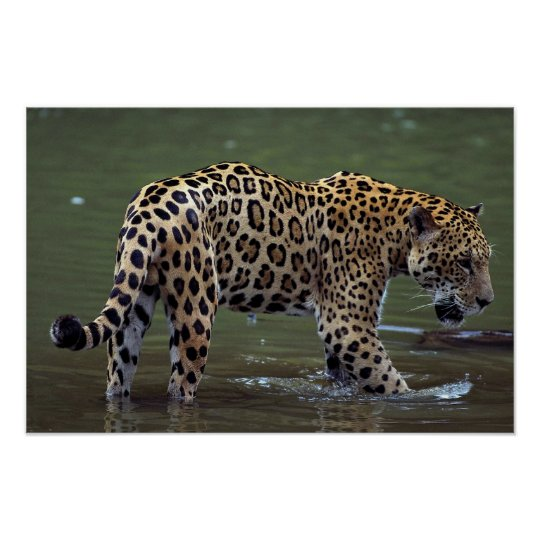 Jaguar (Panthera onca) in muddy river Poster