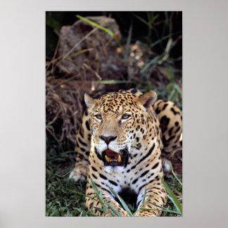 Jaguar (Panthera onca) Posters