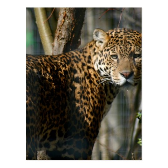 Jaguar Photo Postcard