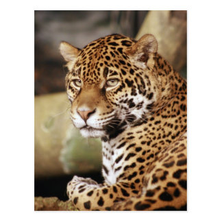 Jaguar Postcard