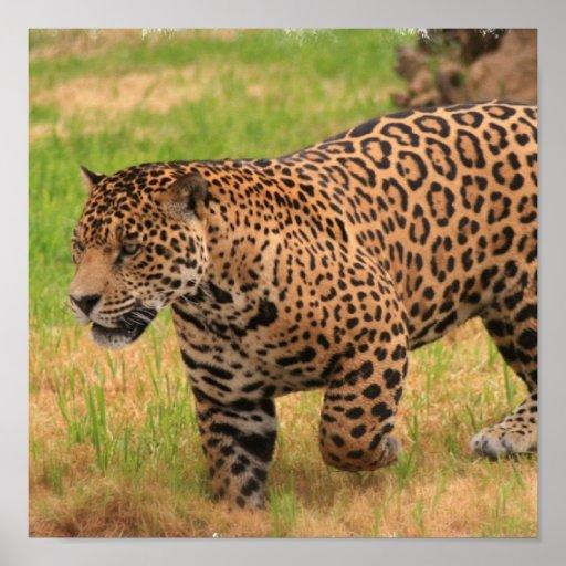 Jaguar Poster Print