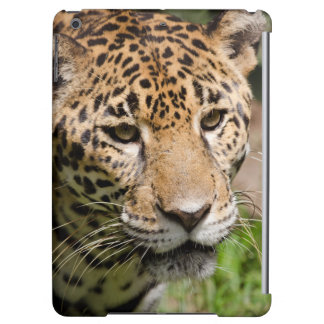 Jaguar prisionero en el recinto 2 de la selva