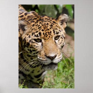 Jaguar prisionero en el recinto 2 de la selva impresiones