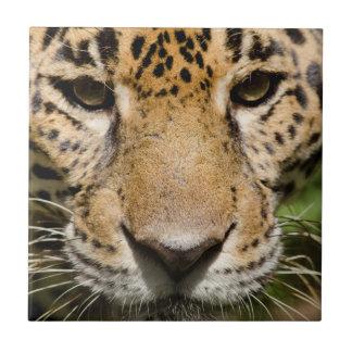 Jaguar prisionero en recinto de la selva azulejo cuadrado pequeño