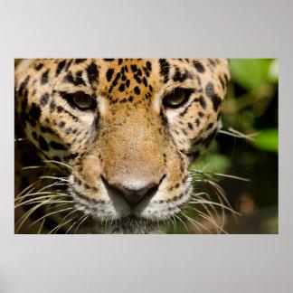 Jaguar prisionero en recinto de la selva poster