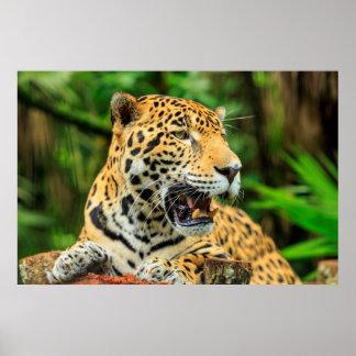 Jaguar shows its teeth, Belize Poster