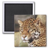 Jaguar Square Magnet