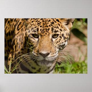 Jaguarclose-up of face poster