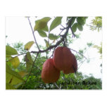 Jamaican Ackee Picture Postcard