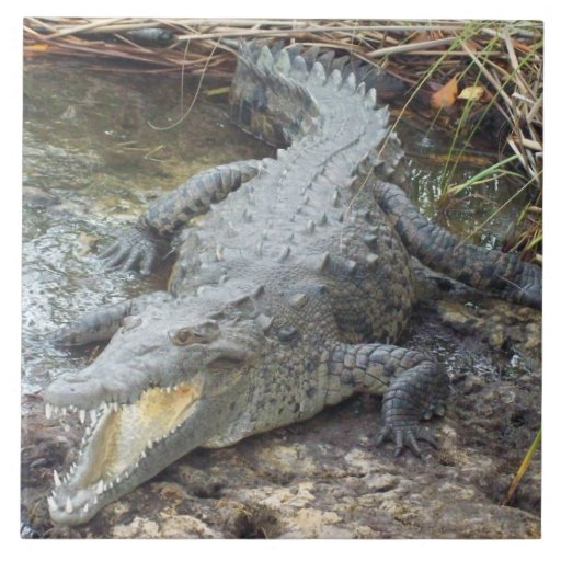 Jamaican Salt Water Crocodile Ceramic Tile Zazzle