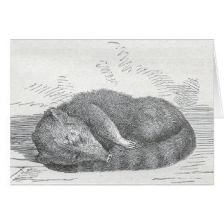 James Johonnot - Coatimondi asleep Card