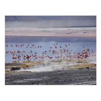 James's Flamingo, Phoenicoparrus jamesi Postcard