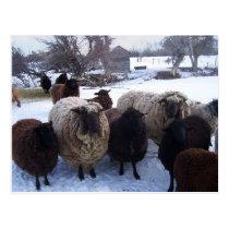January Sheep in Snow Postcard