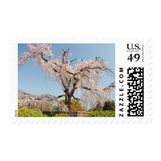 Japan, Kyoto. Weeping cherry tree under blue sky Postage