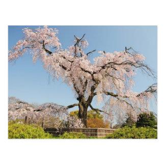 Japan, Kyoto. Weeping cherry tree under blue sky Postcard