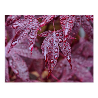 Japanese Acer Palmatum Atropurpurea Shrub Postcard