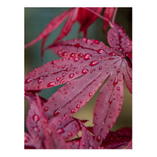 Japanese acer with raindrops postcard