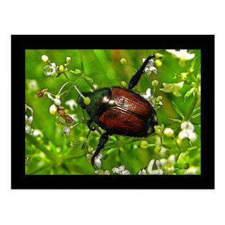 Japanese Beetle Insect Postcard
