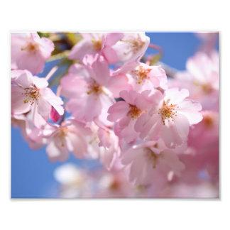 Japanese Cherry Blissom Photo