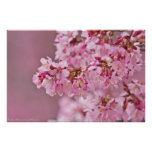 Japanese Cherry Blossoms Out On A Limb Poster