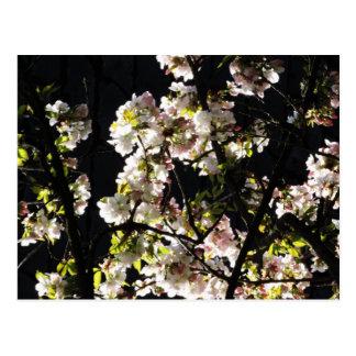 Japanese cherry Spring Blossom pink Postcard