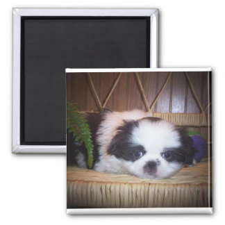 Japanese Chin puppy 2 Inch Square Magnet