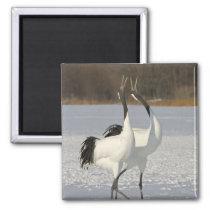 Japanese Cranes dancing on snow Magnet