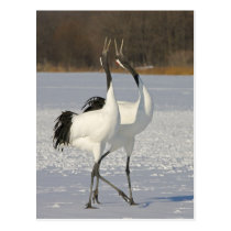 Japanese Cranes dancing on snow Postcard