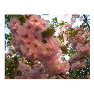 Japanese Flowering 2Cherry Postcard