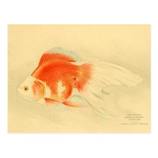 Japanese goldfish. The Ryukin. Postcard