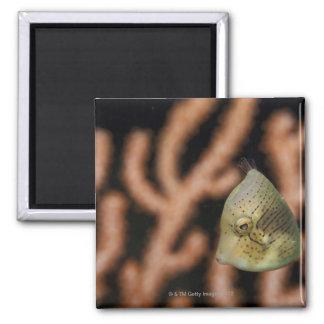 Japanese inflator filefish (Brachaluteres 2 Inch Square Magnet